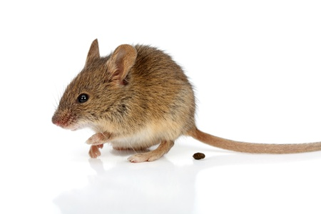 shit: Close view of a shitting tiny house mouse (Mus musculus) Stock Photo