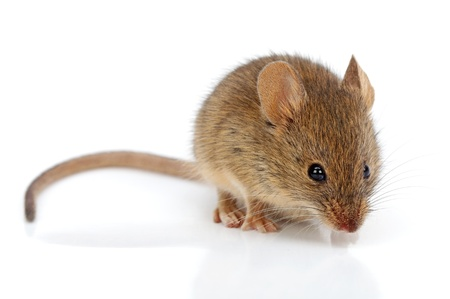 Close view of a tiny house mouse (Mus musculus) Stock Photo