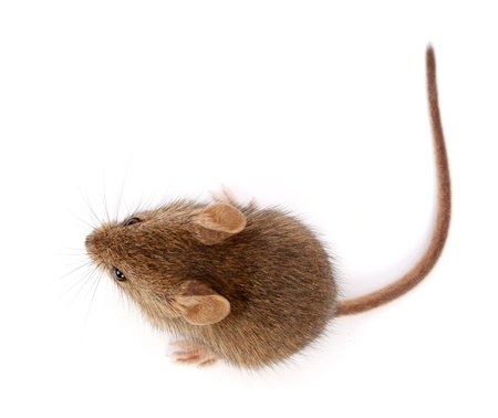 musculus: House mouse on white, looking up (Mus musculus)