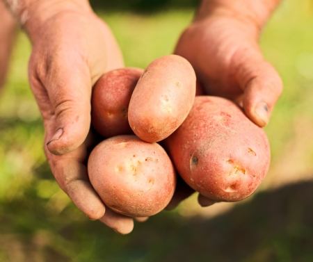 Fresh potatoes in gardener hands photo