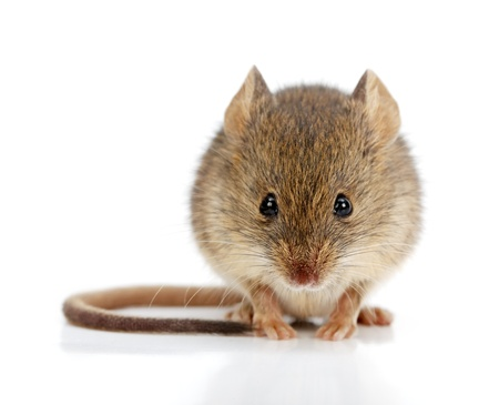 Close view of a tiny house mouse (Mus musculus) Standard-Bild