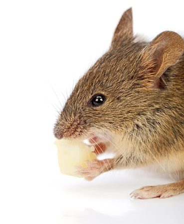 musculus: Close view of a house mouse eating piece of cheese (Mus musculus) Stock Photo
