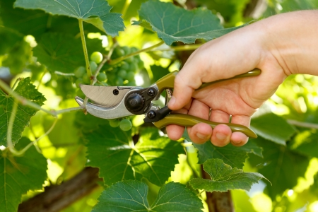 Using pruner to cut down grape tree branch photo