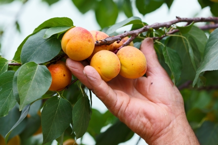 Old mands hand showing fresh peach on tree branch