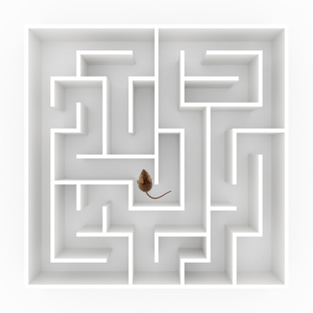 Top view of a tiny mouse (mus musculus) finding his way in maze photo