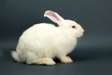 lapin blanc: White rabbit sitting on gray background Banque d'images