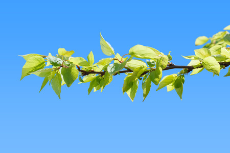 burgeoning: First green leaves on peach tree branch