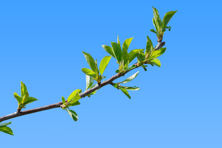 burgeoning: First green leaves of cherry tree branch