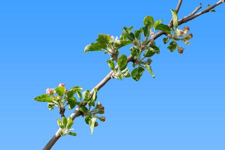 burgeoning: Burgeoning apple tree branch on sky background