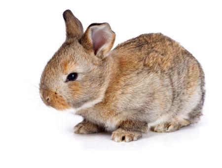 bunnie: Brown baby rabbit on white background