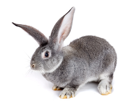 bunnie: Young domestic grey rabbit on white background