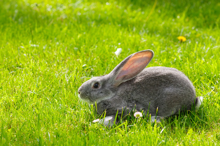 bunnie: Young domestic gray rabbit in green grass