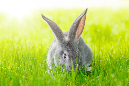 Young domestic grey rabbit in green grass