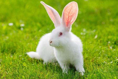 Conejo blanco sentado en la hierba verde