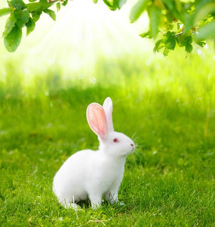 緑の芝生で白ウサギします。 写真素材