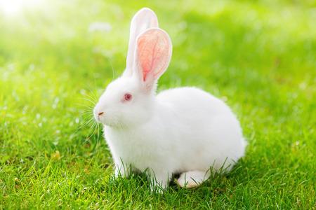 bunnie: White rabbit on green grass Stock Photo