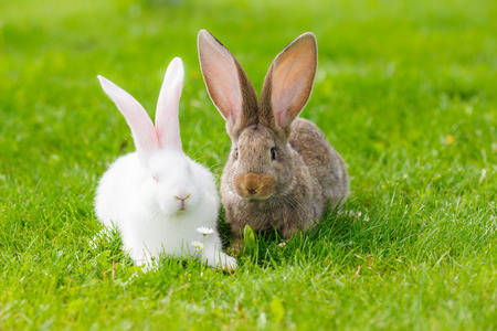 bunnie: White and brown rabbits in green grass