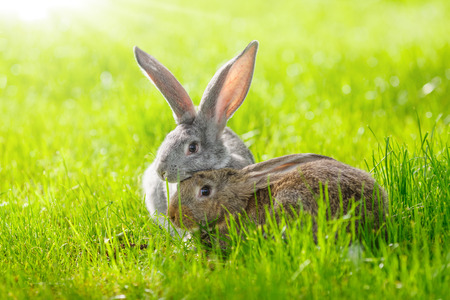 fluffy ears: Brown and gray rabbits in green grass Stock Photo