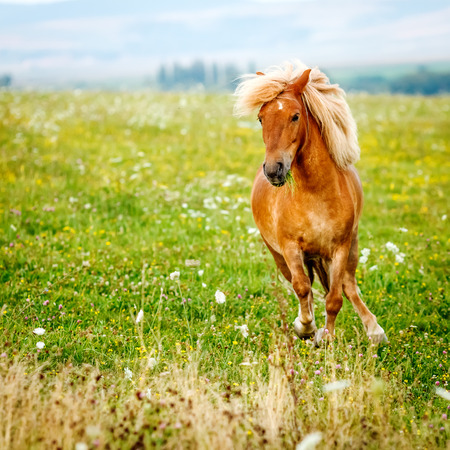 pony: Small pony horse running on the field (Equus ferus caballus)