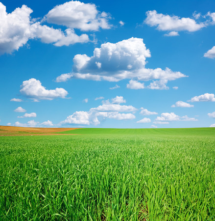 Fresh green wheat field and blue cloudy sky with cumulus clouds photo