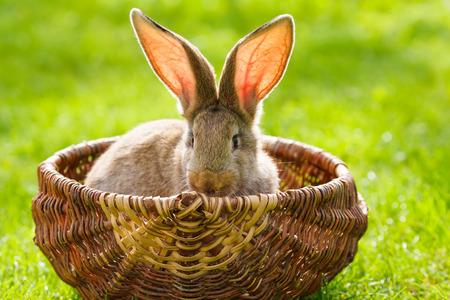 bunnie: Brown rabbit in wicker basket on green grass Stock Photo