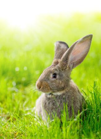 bunnie: Brown domestic rabbit sitting in green grass Stock Photo