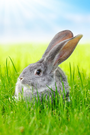 bunnie: Young domestic gray rabbit in green grass on the field