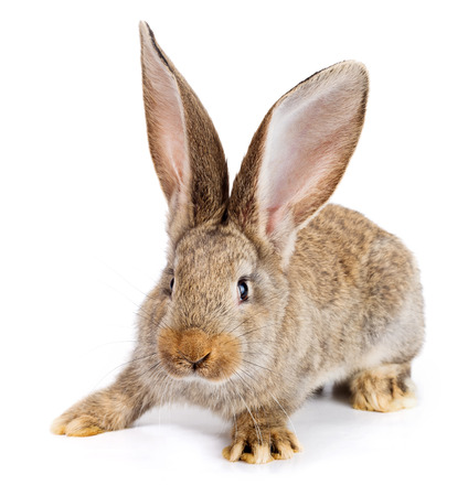 white rabbit: Young domestic brown rabbit on white background