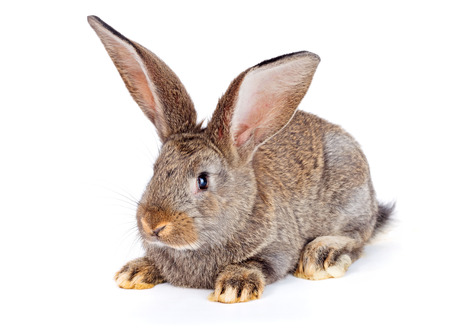 bunnie: Young domestic brown rabbit sitting on white