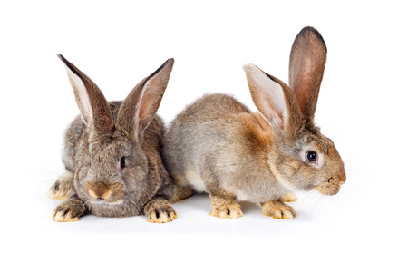 bunnie: Two young brown domestic rabbits sitting on white Stock Photo