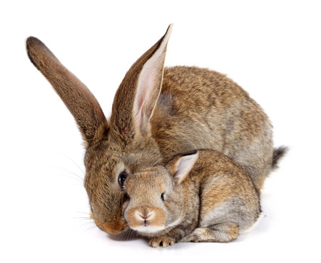 Mother rabbit with newborn bunny on white background Stock Photo
