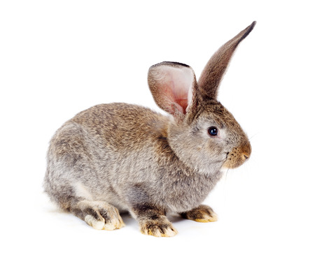 bunnie: Young domestic brown rabbit on white background