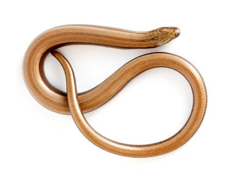 worm snake: Slow worm or legless lizard on white background. Anguis fragilis Stock Photo