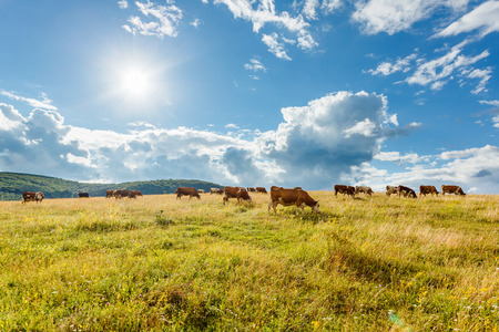 cud: Herd of cows grazing on sunny summer field Stock Photo