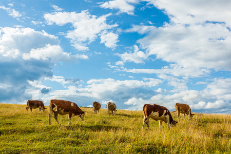 piebald: Herd of cows grazing on summer field