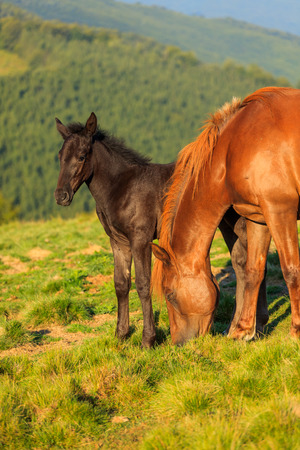 Wild horse and foal grazing on the hill photo