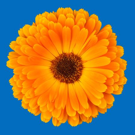 marigold: Orange Pot Marigold - Calendula officinalis flower isolated on blue Stock Photo