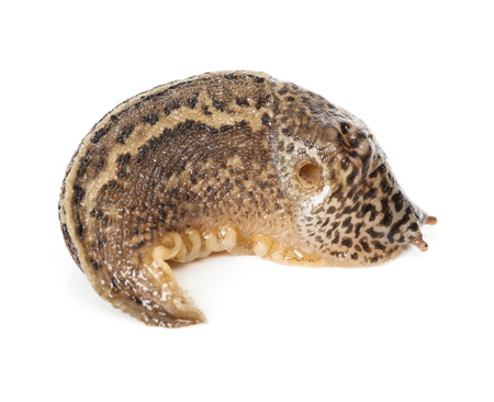 contracted: Limax maximus - contracted great grey or leopard slug