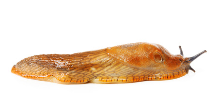 gastropod: Spanish slug - Arion vulgaris - terrestrial pulmonate gastropod mollusk Stock Photo
