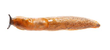 gastropod: Top view of Spanish slug - Arion vulgaris - terrestrial pulmonate gastropod mollusk