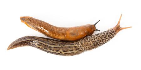 terrestrial mammal: Great grey slug and Spanish slug together