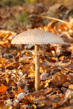 basidiomycete: Parasol mushroom (Macrolepiota procera) in forest in autumn forest Stock Photo