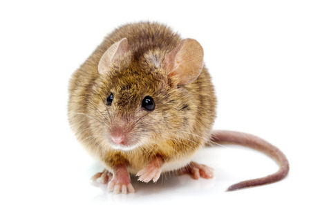 cute mouse: Close view of a tiny house mouse (Mus musculus) Stock Photo