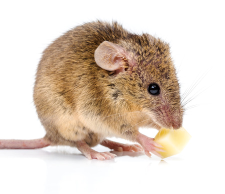 musculus: Close view of a tiny house mouse (Mus musculus) eating cheese Stock Photo