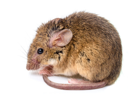 animal hair: Close view of a tiny house mouse (Mus musculus) Stock Photo