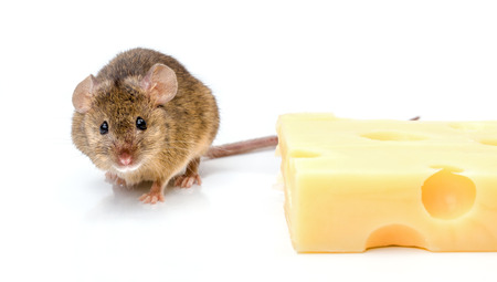 cute mouse: Close view of a tiny house mouse (Mus musculus) near big cheese
