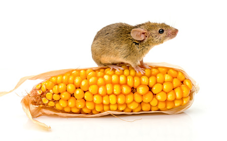 musculus: Close view of a tiny house mouse (Mus musculus) on corn cob