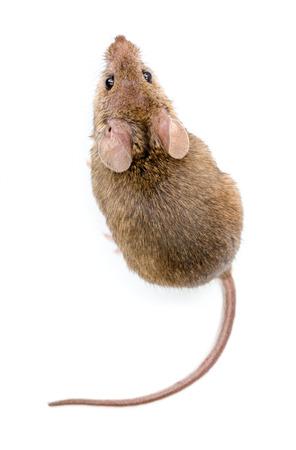 Sluiten oog van een kleine huismuis (Mus musculus)