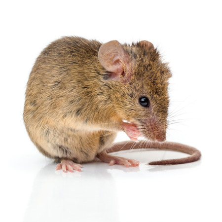 Close view of a tiny house mouse (Mus musculus) cleaning himself Stock Photo