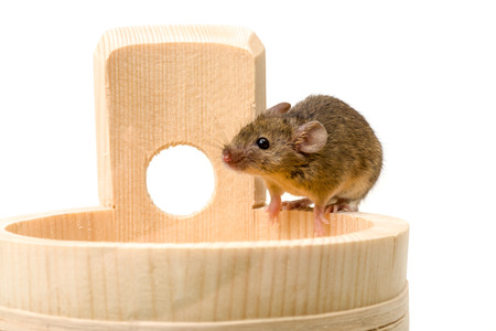 musculus: Close view of a tiny house mouse (Mus musculus) on wooden tub